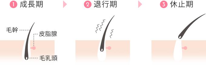 ①成長期→②退行期→③休止期